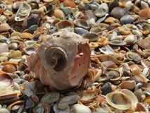 One big seashell and more small shells Stock Photography