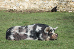 One big spocked pig sleeping in the green grass Stock Images