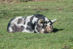 One big spocked pig sleeping in the green grass Stock Image