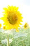 One big sunflower Stock Photos