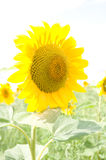 One big sunflower Stock Images
