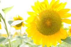 One big sunflower Royalty Free Stock Images