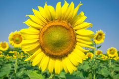One big sunflower Royalty Free Stock Photos