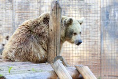 The one big syrian bear Stock Image