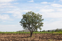 One big tree in the cane fields. Royalty Free Stock Photo