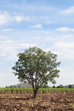 One big tree in the cane fields. Royalty Free Stock Photography