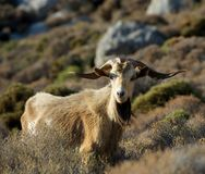 One big wild goat in the mountains on early morning sunrise, popular animal in Greece islands, big goat with huge horns, wild goat. In blurry background Royalty Free Stock Photography