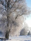 One big willow tree. All branches covered with white frost; cold, sunny winter day, all land and plants, trees covered with snow royalty free stock photography