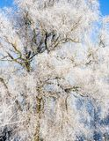 One big willow tree. All branches covered with white frost; cold, sunny winter day, all land and plants, trees covered with snow stock image