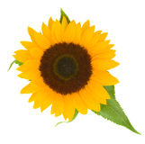 One bight sunflower Stock Images
