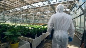 One biologist walks near pots with plant in greenhouse.