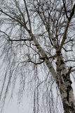 One birch on a gray day Royalty Free Stock Photography