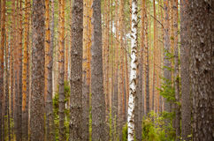 One birch among pine forest - background Stock Photography