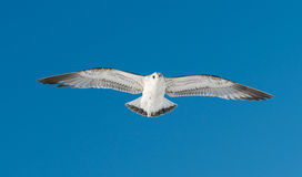 One bird flies on sky Stock Photo