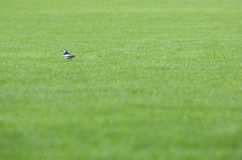 One bird at grassland Royalty Free Stock Photography