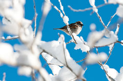 Bird hiding in a snow tree Stock Images