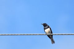 One bird on metal wire. One black and white bird on metal wire in blue sky Stock Photos