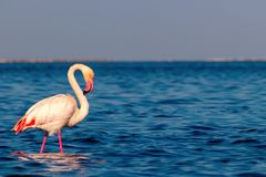 Free One Bird Of Pink African Flamingo Walking Around The Lagoon Royalty Free Stock Images - 157102259