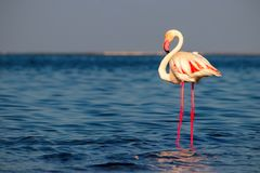 Free One Bird Of Pink African Flamingo Walking Around The Lagoon Stock Images - 157102334