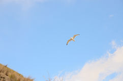 One bird Seagull in the blue sky and clouds royalty free stock image