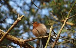 One bird sits ruffled up in the sunshine on a twig Royalty Free Stock Photography