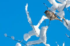 Bird in snow tree Royalty Free Stock Images