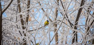 One bird on winter branch. Christmas tree Royalty Free Stock Images
