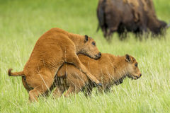 One bison calf mounts another. stock photo