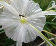 One black ant in mid of white flower Royalty Free Stock Photography