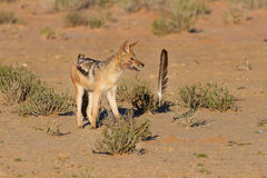 One Black backed jackal play with large feather in dry desert ha Royalty Free Stock Photography