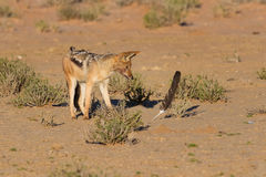 One Black backed jackal play with large feather Royalty Free Stock Photography
