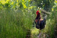 One black and brown rooster adult animal. Standing in some grass on a farm Royalty Free Stock Image