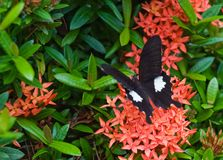 One black butterfly on beatiful exotic flowers Stock Photos