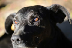 One black dog Royalty Free Stock Photography