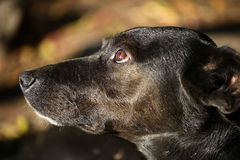 One black dog Royalty Free Stock Image