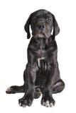 One black German mastiff  puppy on white background Royalty Free Stock Photo