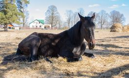 One black horse is resting lying on the spring sunshine stock image