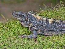 Black iguana, Ctenosaura similis, is a massive lizard, residing mostly on the ground, Belize. One Black iguana, Ctenosaura similis, is a massive lizard, residing stock photos