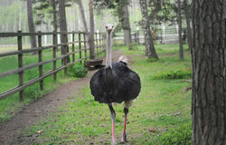One black ostrich walking on the green grass. Royalty Free Stock Photo