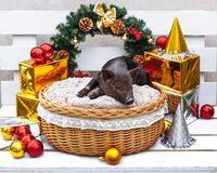 Pig piglet little black basket wicker cute Vietnamese breed new year happy Christmas tree decorations garland gift marble. One black pig of Vietnamese breed sits royalty free stock photo