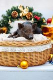 Pig piglet little black basket wicker cute Vietnamese breed new year happy Christmas tree decorations garland gift marble. One black pig of Vietnamese breed sits royalty free stock images