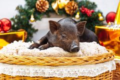 Pig piglet little black basket wicker cute Vietnamese breed new year happy Christmas tree decorations garland gift marble. One black pig of Vietnamese breed sits stock images