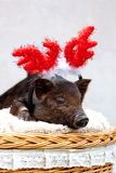 Pig piglet little black basket wicker cute Vietnamese breed new year happy Christmas tree horns deer decorations garland gift marb. One black pig of Vietnamese royalty free stock photography