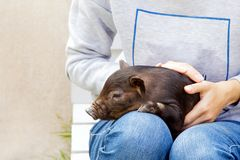 Pig piglet little black basket white background wicker cute Vietnamese breed new year happy. One black pig of Vietnamese breed is sitting on a woman`s lap royalty free stock images