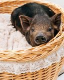 Pig piglet little black basket white background wicker cute Vietnamese breed new year happy. One black pigs of Vietnamese breed sits in a wicker basket. Cute stock photos