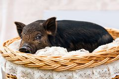 Pig piglet little black basket white background wicker cute Vietnamese breed new year happy. One black pigs of Vietnamese breed sits in a wicker basket. Cute stock image