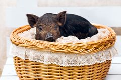 Pig piglet little black basket white background wicker cute Vietnamese breed new year happy. One black pigs of Vietnamese breed sits in a wicker basket. Cute royalty free stock photography