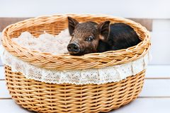 Pig piglet little black basket white background wicker cute Vietnamese breed new year happy. One black pigs of Vietnamese breed sits in a wicker basket. Cute royalty free stock photo