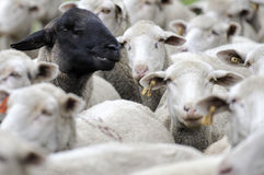 One black sheep amongst the white ones. A herd of sheep one is black Royalty Free Stock Photos