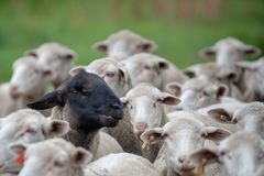 One Black sheep face amoungst all the white sheep faces. One black sheep sticking out against the faces of all white sheep stock photography